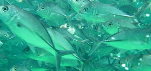 Fischschwarm auf Sipadan