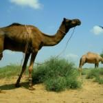 Mein Kamel Gogi