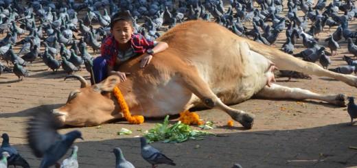 Der Kuhbezwinger - kleiner Junge mit Kuh in Nepal