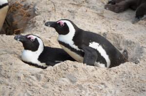 Pinguine beim Nisten hautnah beobachten: Simons Town