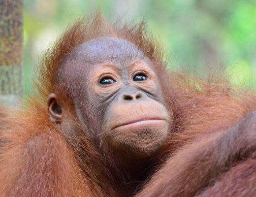 Orang Utan Baby auf Borneo: Nur noch auf Borneo und Sumatra leben die Affen in freier Wildbahn.