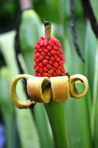 Bananenpflanze im Naturparadies Borneo