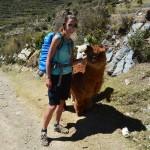 Alpakas auf der Isla del Sol