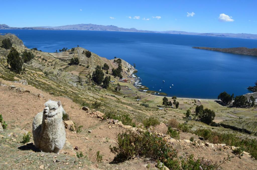 Wandern am Titicaca See: Alpaka auf der Isla del Sol