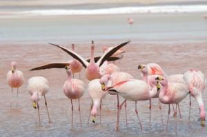 Flamingos in der Laguna Colorada.