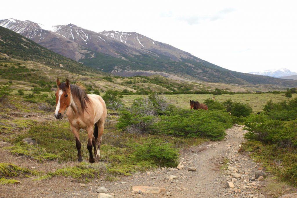 Natur pur im Torres del Paine Nationalpark: Beim Wandern triffst du auf wilde Pferde oder gar auf einen Puma?