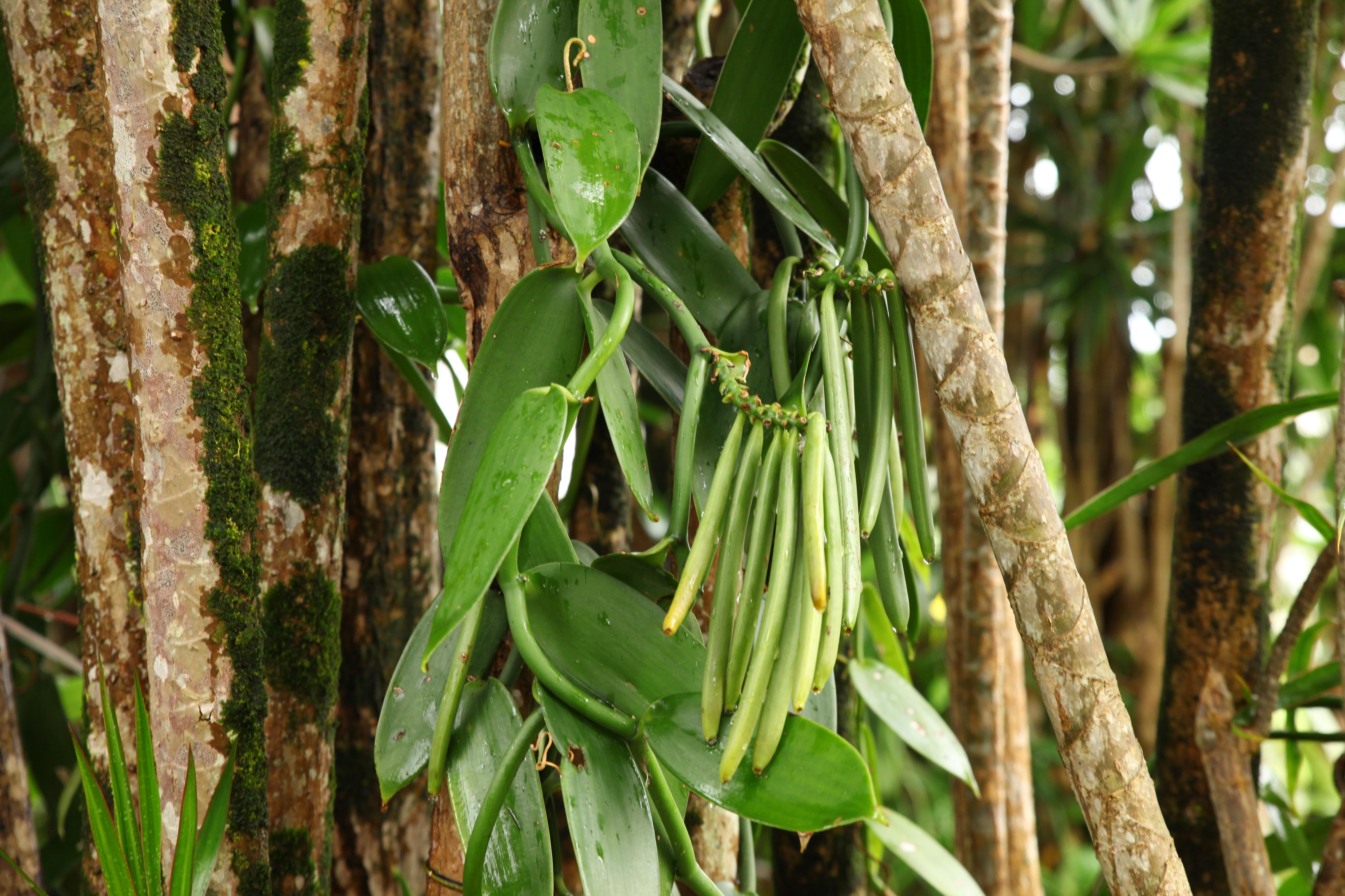 """La Réunion ist auch unter dem Namen """"Bourbon Vanille"""" bekannt."""