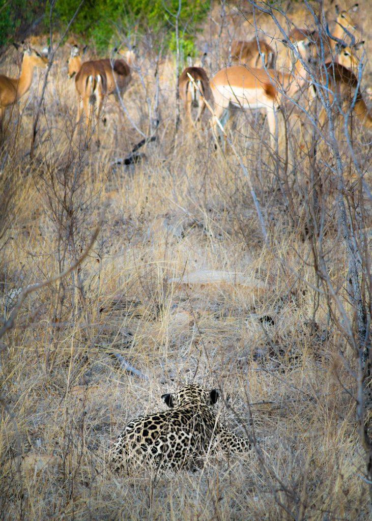 Top 5 Spots in Südafrika: Bereit zum Sprint- Ein Leopard lauert einer Gazellenherde auf im Krüger Nationalpark.