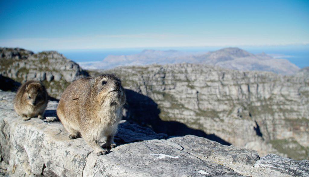 Top 5 Spots in Südafrika: Zwei süße Dessies auf dem Tafelberg. Aber Achtung: Beiß-Gefahr