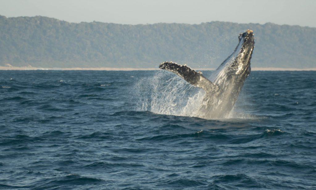 Top 5 Spots in Südafrika: Ein Buckelwal, der direkt vor uns aus dem Wasser gesprungen ist.