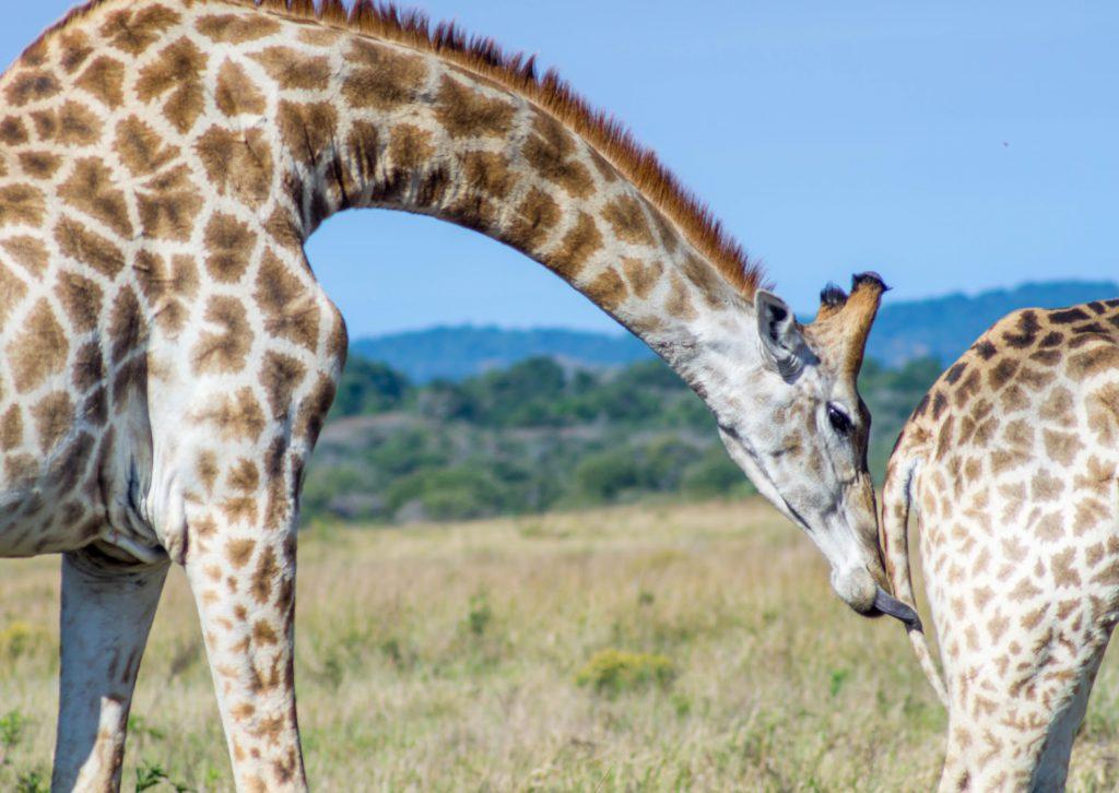 Top Spots in Südafrika: Im Krüger Nationalpark triffst du auf die Big Five und viele andere Tiere