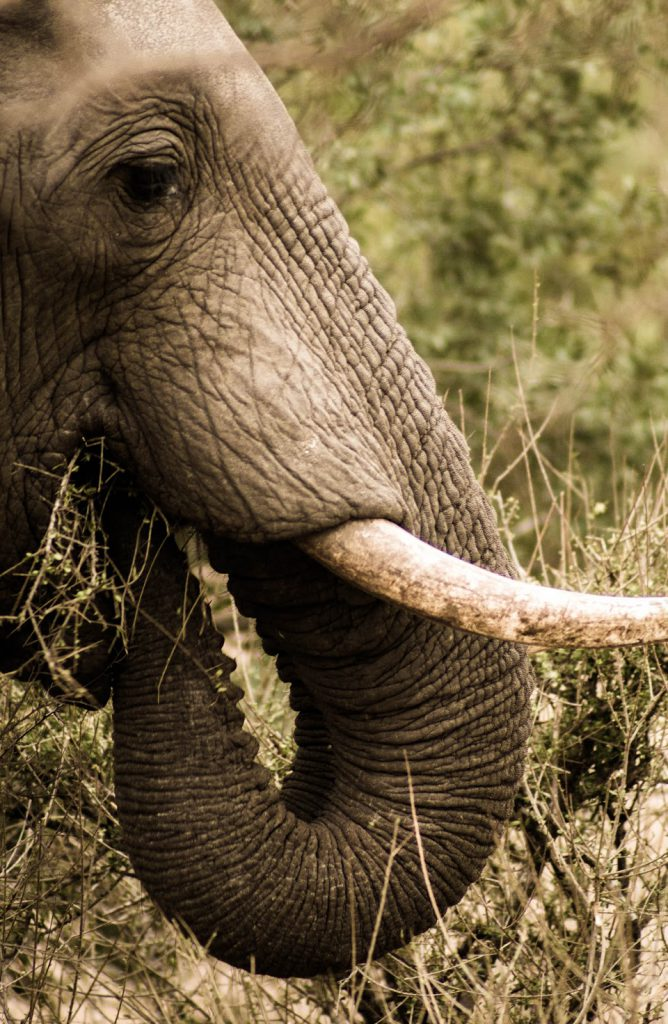 Top 5 Spots in Südafrika: Ein afrikanischer Elefant beim Fressen im Krüger Nationalpark
