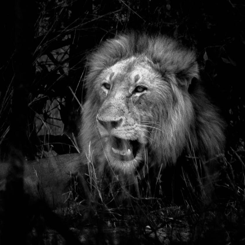 Top 5 Spots in Südafrika: Ein gähnendes Löwenmännchen im Krüger Nationalpark