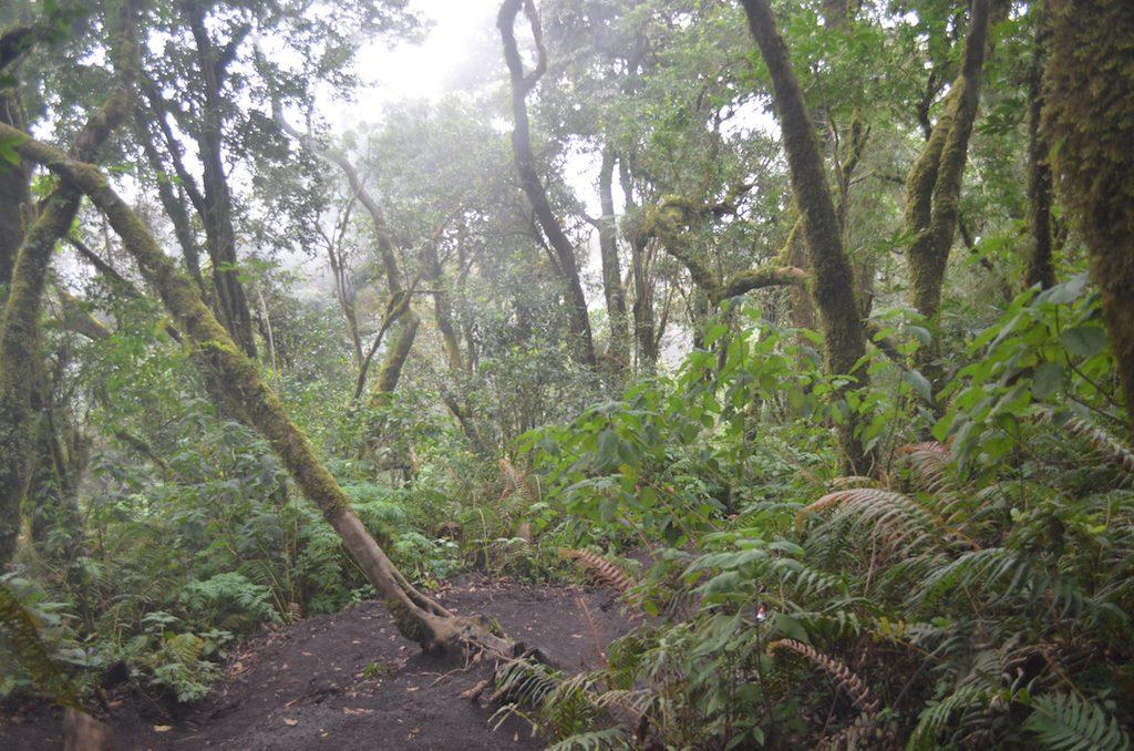 Acatenango Vulkanwanderung: Aufstieg durch den mystischen Wald.