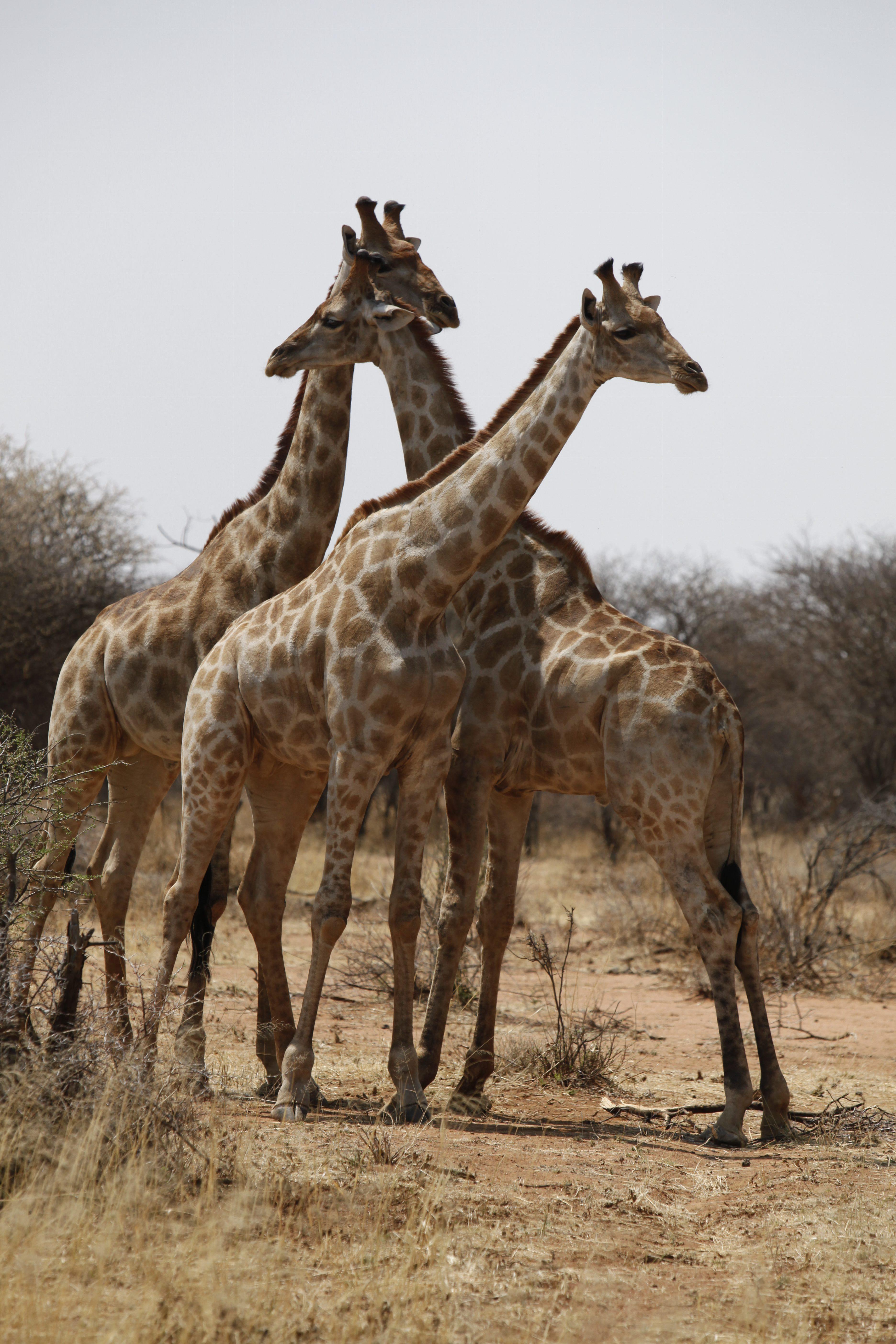 Schon wenige Meter nach dem Gate zum Erindi Private Game Reserve trafen wir auf diese Gruppe Giraffen.