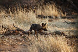 Vom Aussterben bedroht aber im Erindi Private Game Reserve noch vorzufinden: Der Afrikanische Wildhund.