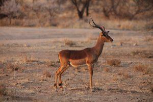 Bei untergehender Sonne trafen wir auf eine Gruppe Antilopen.