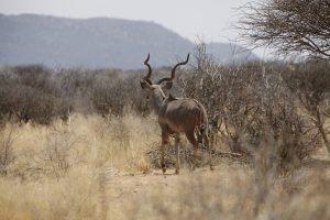 Majestätisch ziehen die riesigen Kudus ihre Runden durch das Erindi Private Game Reserve.