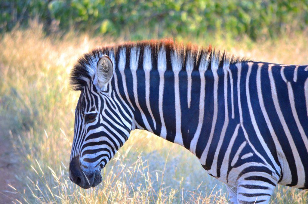 Mit dem eigenen Mietwagen im berühmten Krüger Nationalpark von Südafrika auf Safari gehen, ein Must-Do!