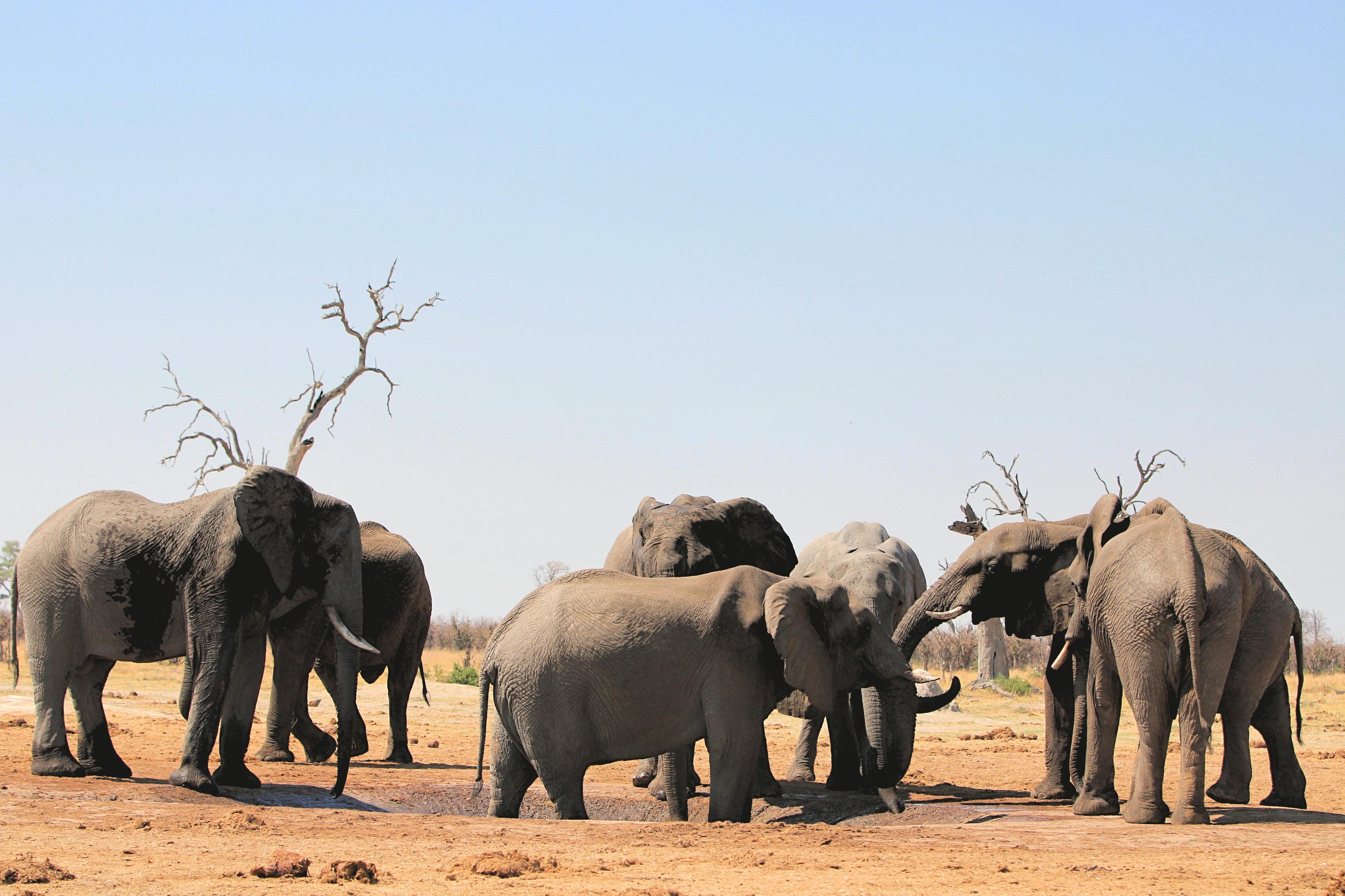 Elefantenherde in den Savuti Marches soweit das Auge reicht.