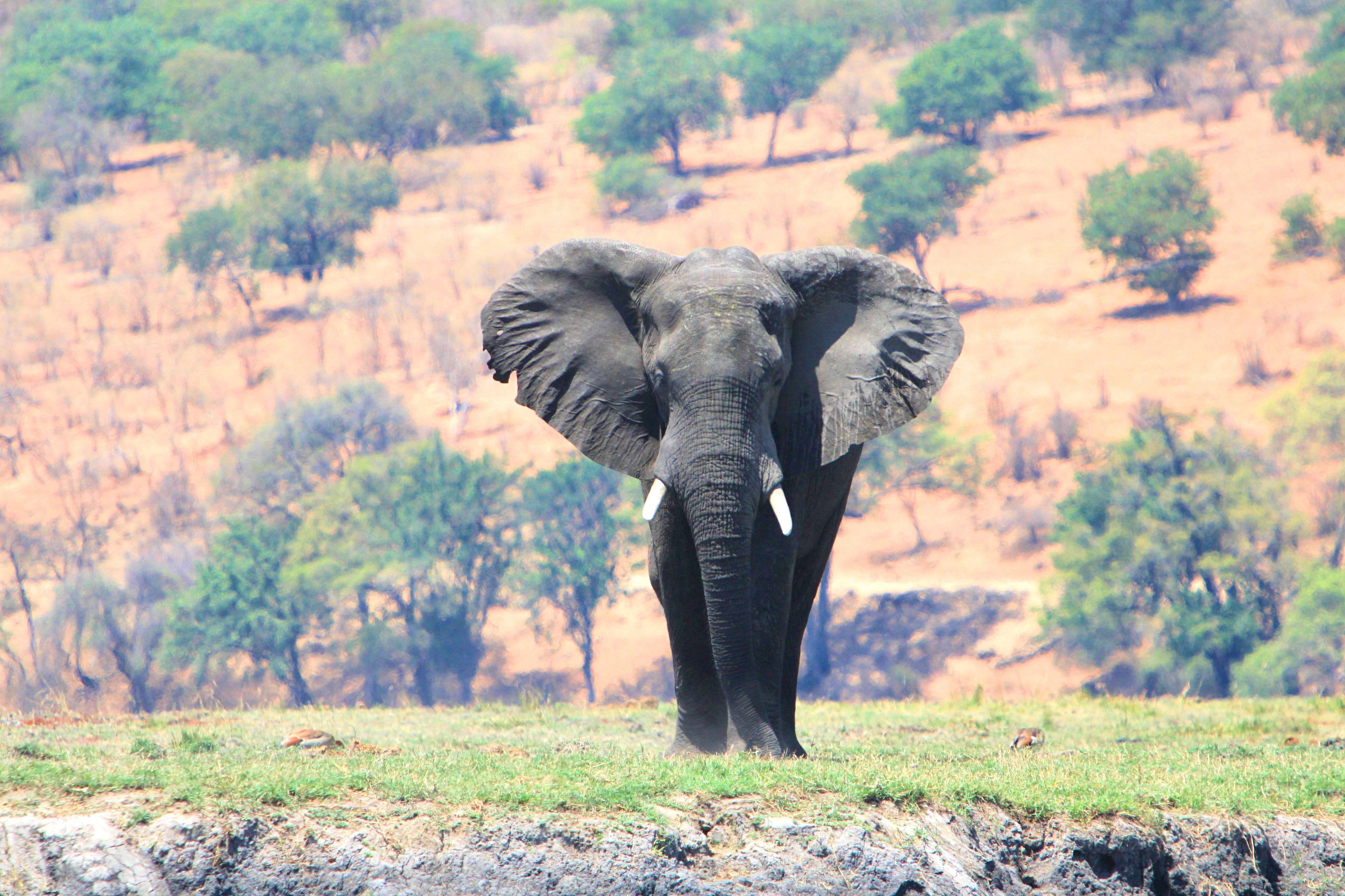 Chobe Nationalpark: Hier lebt die größte Elefantenpopulation in Botswana.