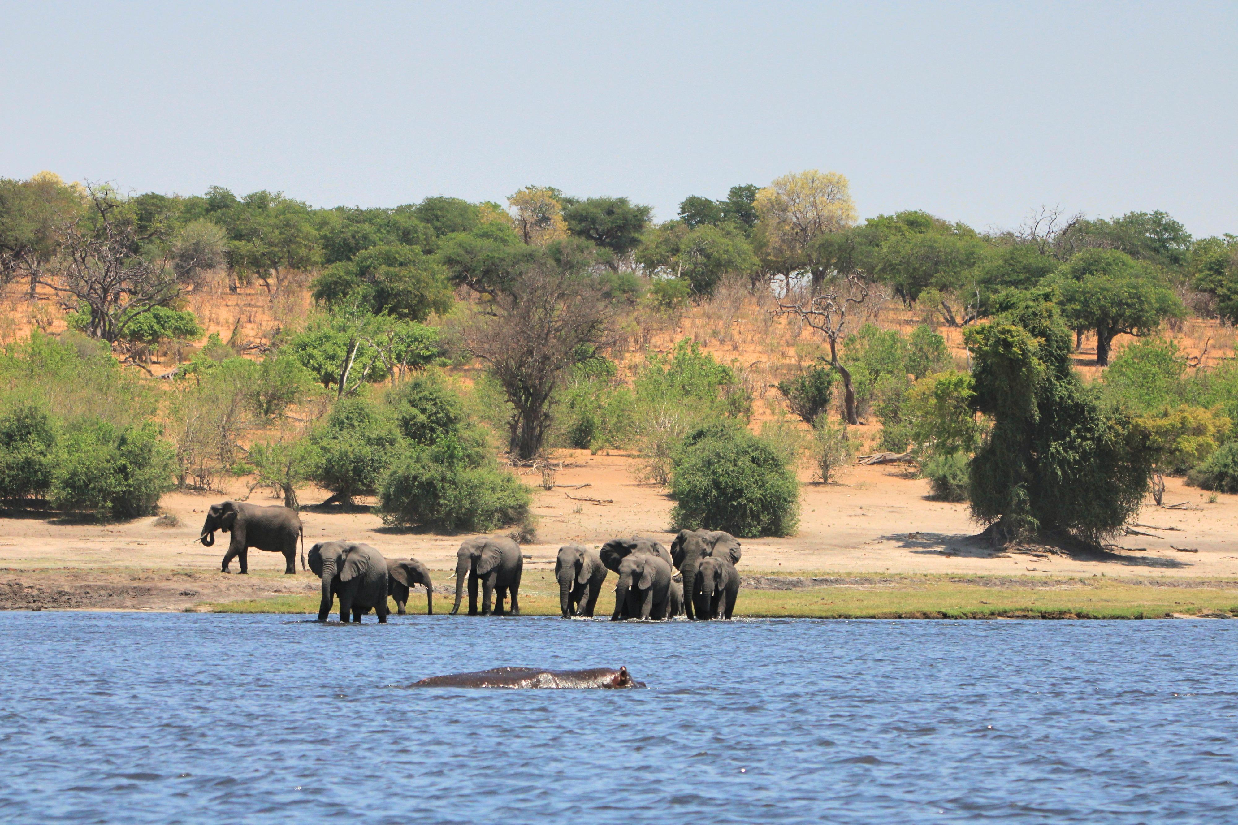 Chobe Nationalpark: Am Ufer des Chobe River sammeln sich die Elefanten zum Baden und Trinken.