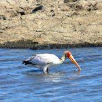 Der Chobe Nationalpark ist auch ein wahres Vogelparadies.