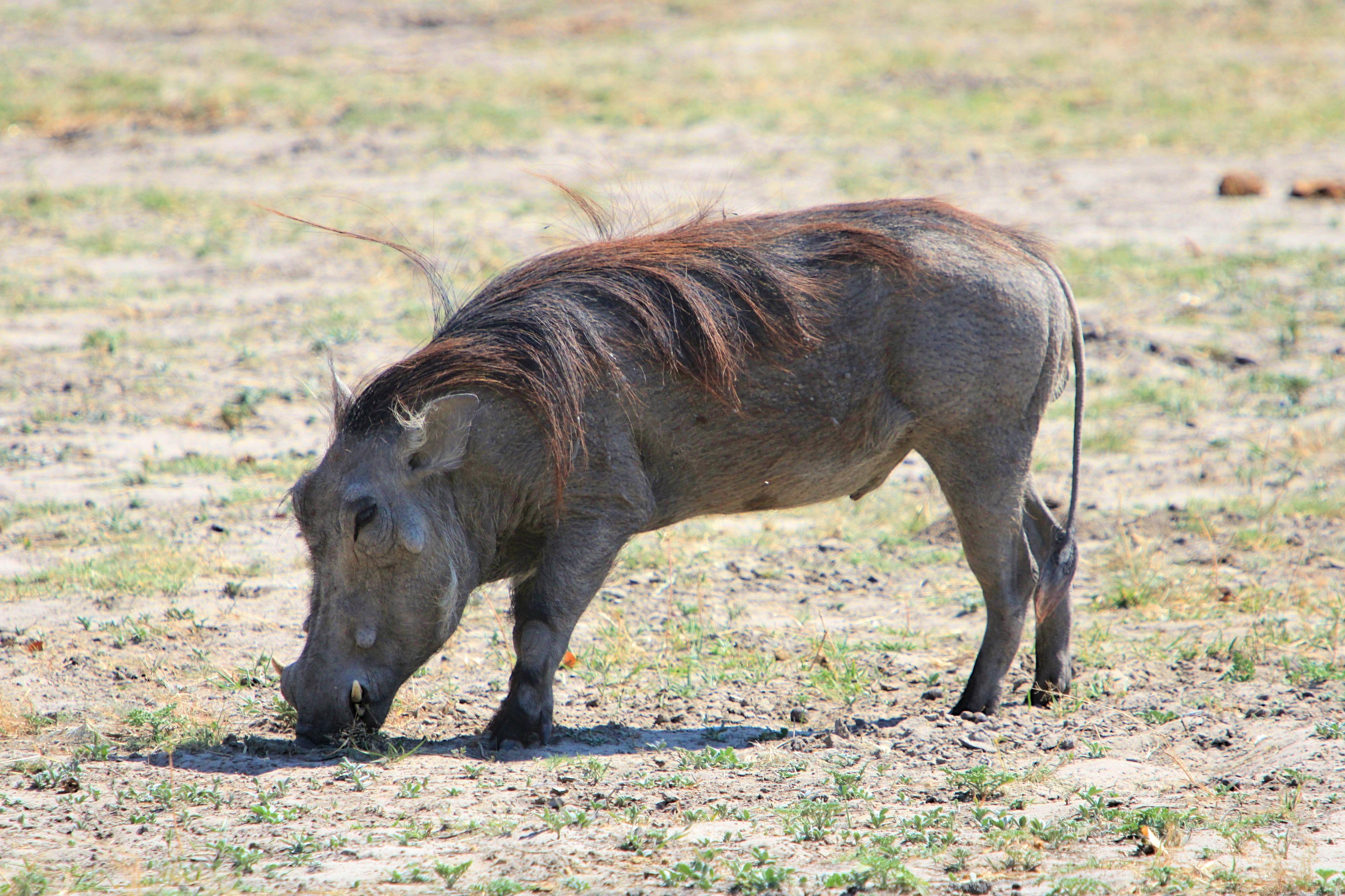 Warzenschwein im Chobe Nationalpark.