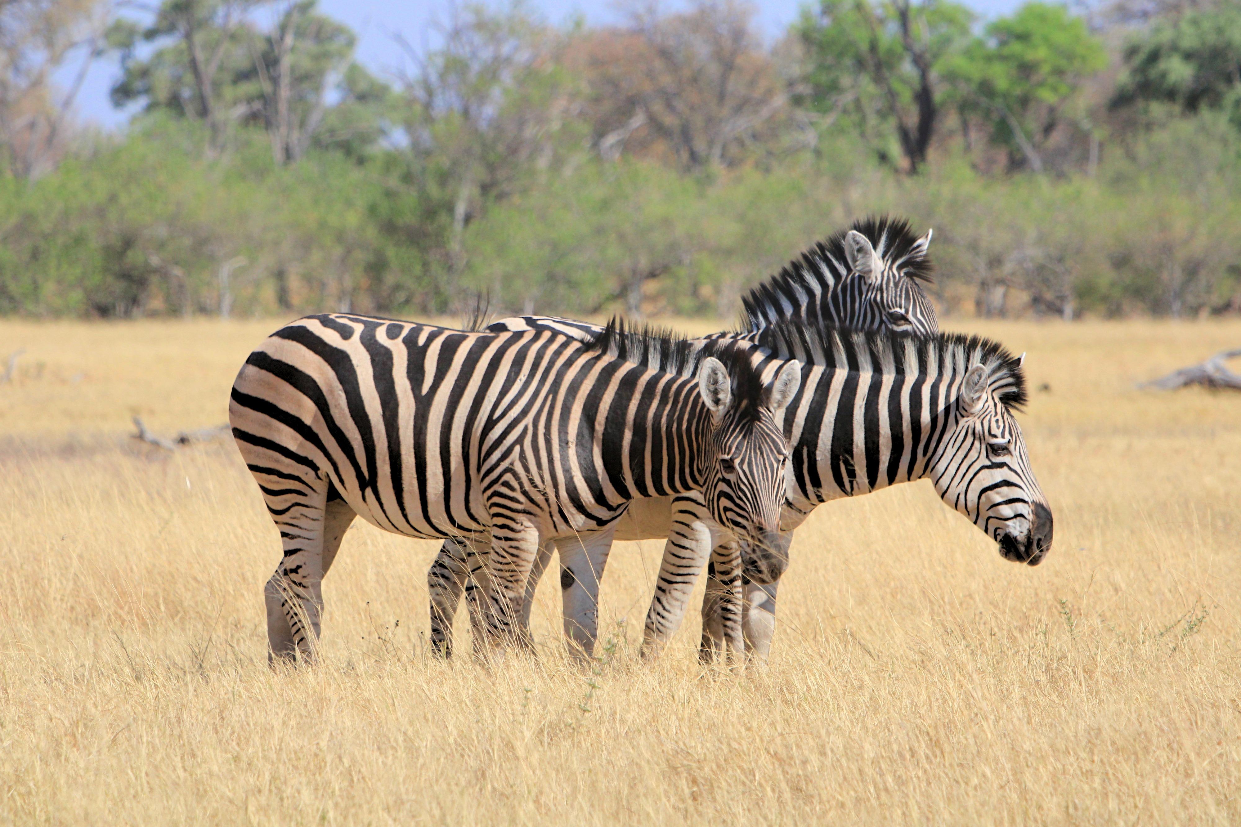 Meine absoluten Lieblinge: Zebras in der Savuti Region des Chobe Nationalparks.