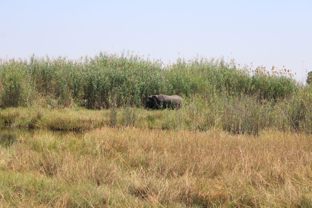 Camping im Okavango Delta: Elefanten direkt neben dem Zelt.